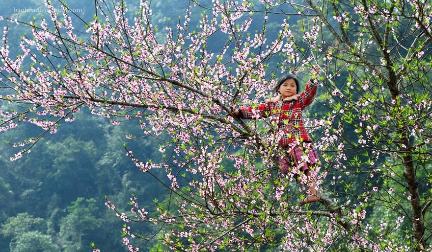 Peach-blossom-festival-son-la